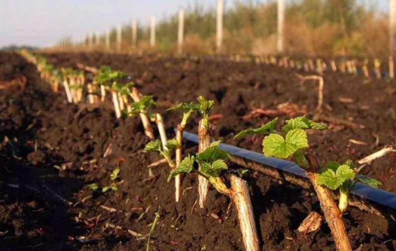 Посадка смородины черенками осенью