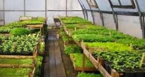 Посадка салата в теплице